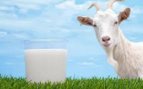 Paraíba é o estado com maior produção de leite de cabra no Brasil 1