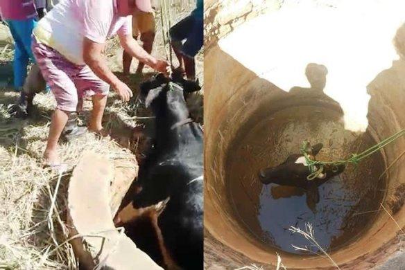 resgate_da_vaca_4-584x390 Vaca é resgatada pelo Corpo de Bombeiros após cair em poço no Sertão da PB