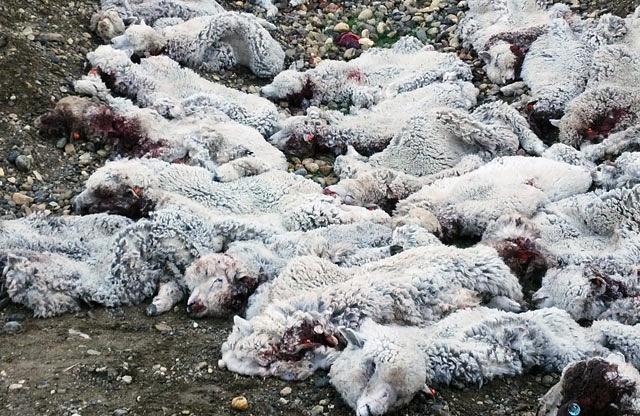 Sigue la matanza de ovejas en estancia de zona de La Esperanza. Las balean y las dejan desangrarse