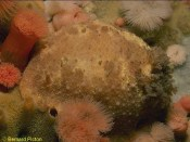 Doris pseudoargus Eating the sponge Amphilectus fucorum, The Burroo, Calf of Man, Isle of Man. - Photograph ©Bernard Picton