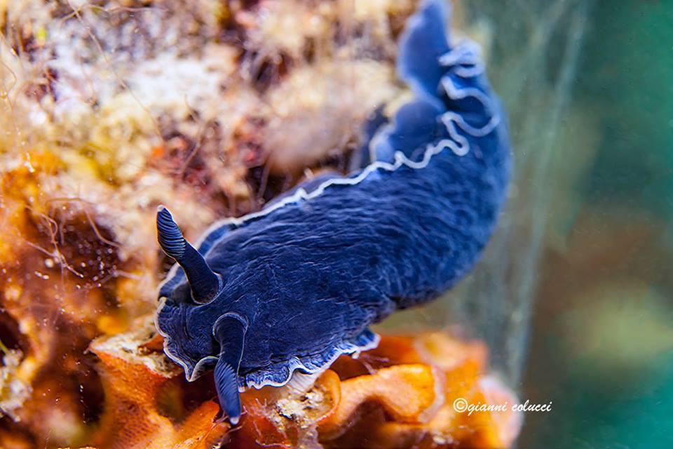 Dendrodoris limbata (blue) @ Ionian Sea, Salento, Italy by Gianni Colucci