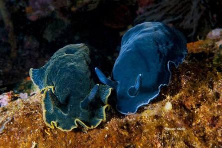 Dendrodoris limbata (blue and black) @ Ionian Sea, Salento, Italy by Gianni Colucci