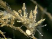 Eubranchus exiguus