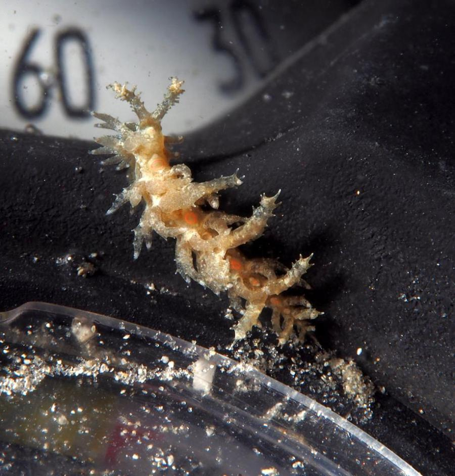 Limenandra nodosa @ Lake Worth Lagoon, riviera beach, Florida on May 11, 2016 by Ariane Dimitris (compass)