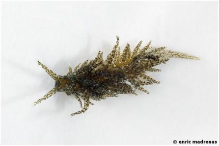 Placida verticillata by Enric Madrenas