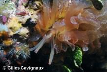 Cyerce cristallina by Gilles Cavignaux