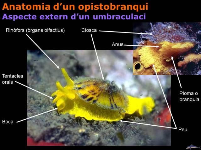 Anatomia d'un opistobranqui: Aspecte extern d'un umbraculaci