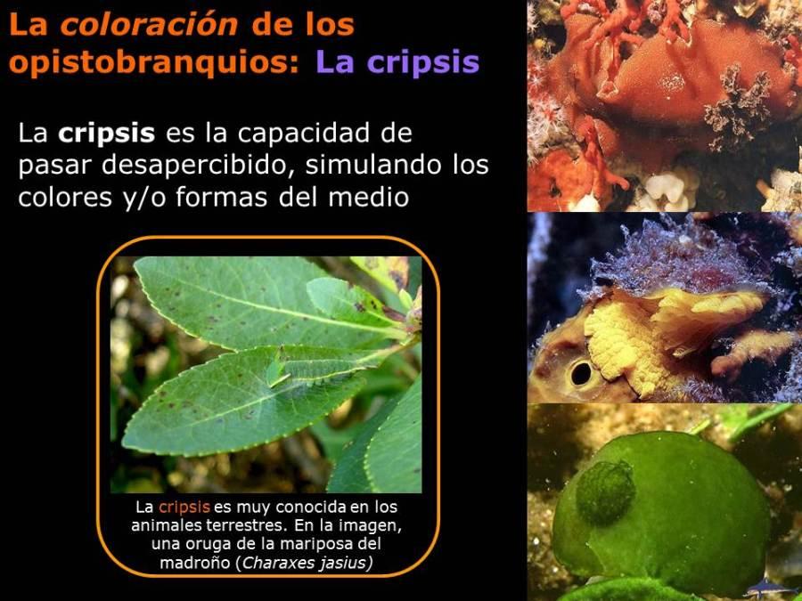 La coloración de los opistobranquios: La cripsis