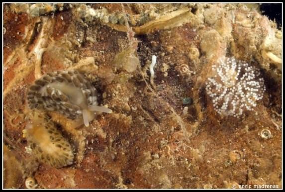 Aeolidiella alderi by Enric Madrenas
