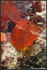 aldisa-banyulensis-07
