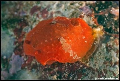 aldisa-banyulensis-11