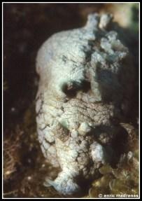 Aplysia dactylomela