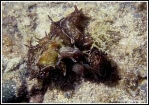 Aplysia punctata