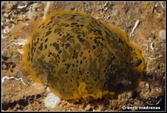 dendrodoris-limbata-28