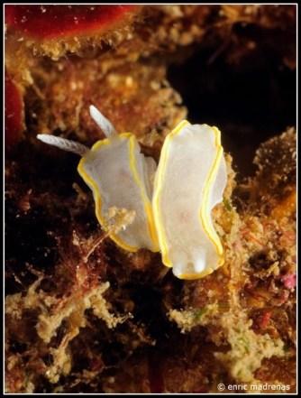 Diaphorodoris alba by Enric Madrenas