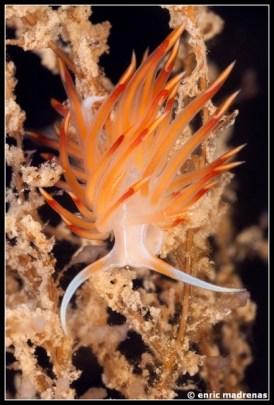dondice-banyulensis-14