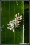 eubranchus-exiguus-07