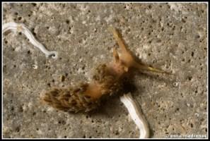 facelina-annulicornis-04