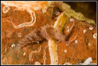 facelina-annulicornis-09