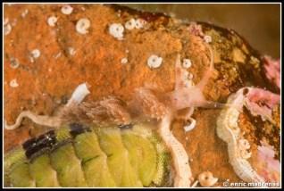 facelina-annulicornis-11