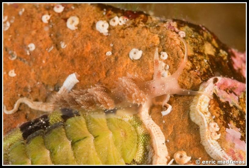 Facelina annulicornis @ Costa Brava (Spain) by Enric Madrenas