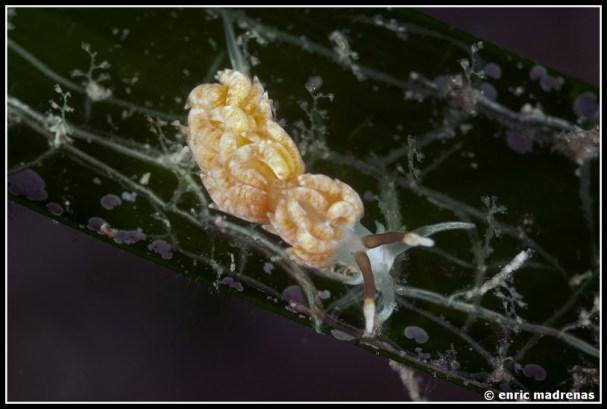 Favorinus branchialis by Enric Madrenas