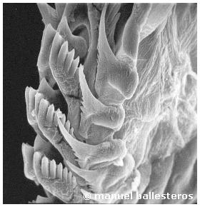 Flabellina affinis