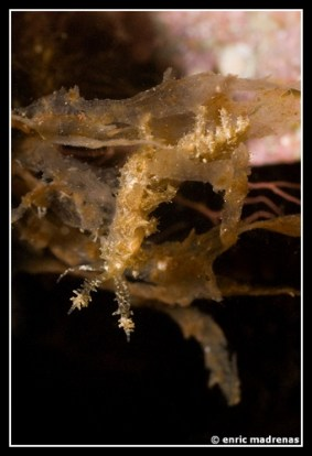 limenandra-nodosa-13