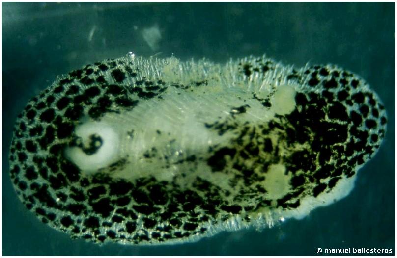 Knoutsodonta albonigra by Manuel Ballesteros