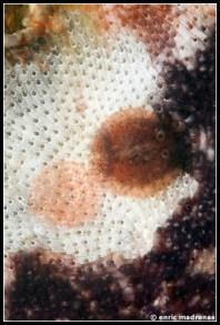 onchidoris-neapolitana-25