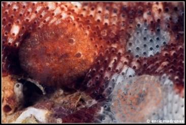 onchidoris-neapolitana-32