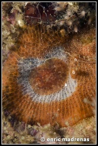 Onchidoris neapolitana