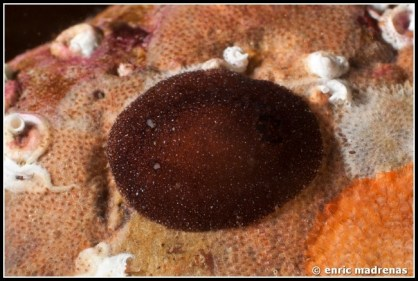 Onchidoris sp A.
