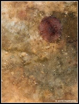 Knoutsodonta pictoni by Enric Madrenas