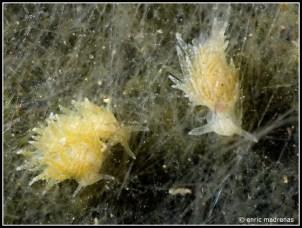 placida-dendritica-16