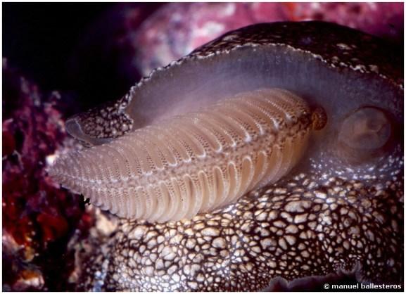 Pleurobranchaea meckeli gill detail
