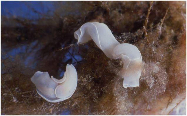 Philinopsis miqueli by Alberto Piras (Italy)