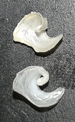 Melanochlamys miqueli (shells) by Alberto Piras (Italy)