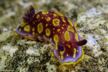 Specimen identified as Felimida rodomaculata @ Playa de las Canteras, Gran Canaria 19-08-2016 by Alberto Navarro