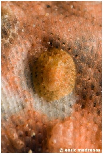 Onchidoris sparsa 04