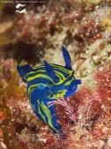 Tyrannodoris europaea @ Isla de Tarifa (Cadiz, Spain, Atl. shore) 10-10-2015 by Manuel Martínez Chacón