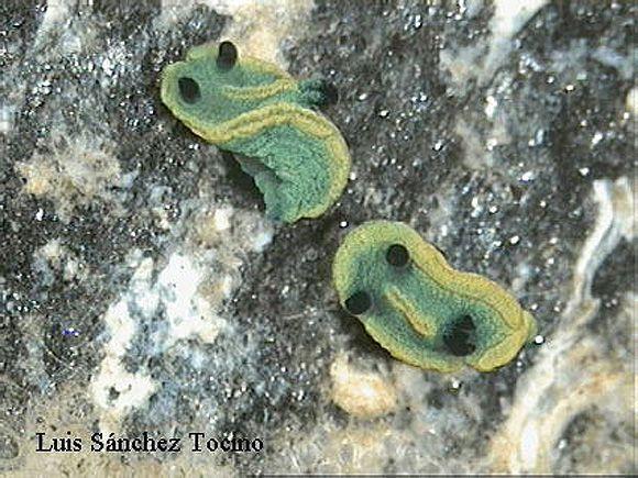 Tambja marbellensis by Luis Sánchez Tocino