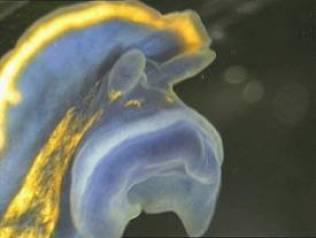 Felimare bilineata, tentacles orals
