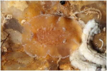 Baptodoris cinnabarinna