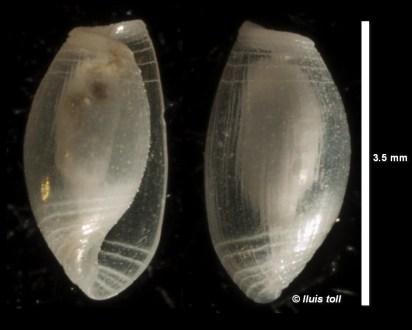 Weinkauffia turgidula (shell) by Lluís Toll