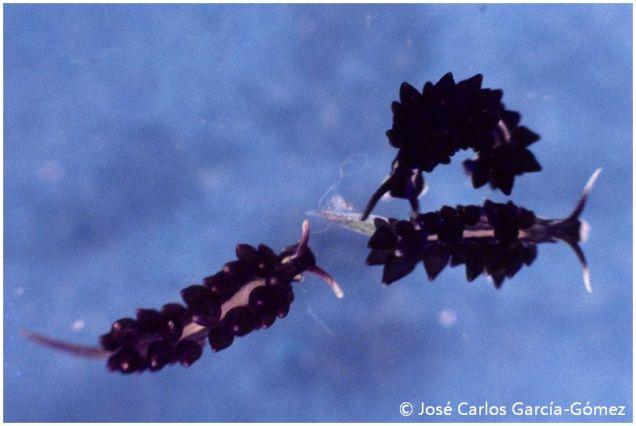 Ercolania viridis by José Carlos García Gómez