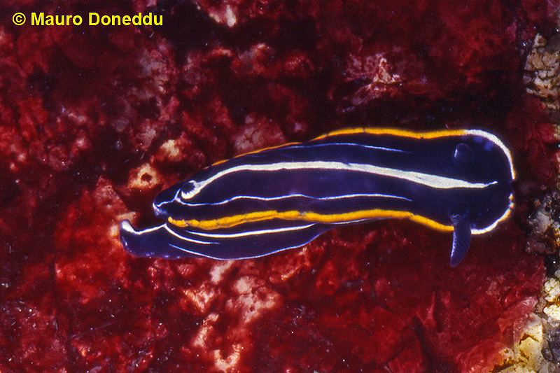 Felimare gasconi 15mm @ San Teodoro, Capo Coda Cavallo, may 1994 in 3m by Mauro Doneddu