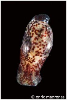 Haminoea exigua @ Penyes Roges 4/10/2014 by Enric Madrenas