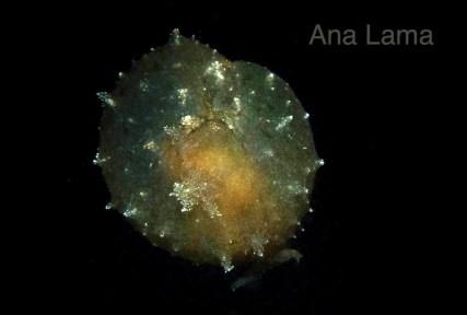 Notarchus punctatus by Ana Lama