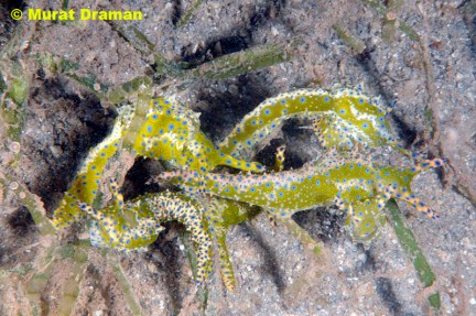Oxynoe viridis by Murat Draman - www.thedivingguidekas.com @ 20090900 Kas, Antalya, Turquia, 25m on Caulerpa racemosa var. lamourouxii
